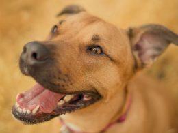 Secretaria da Agricultura promoverá vacinação em cães